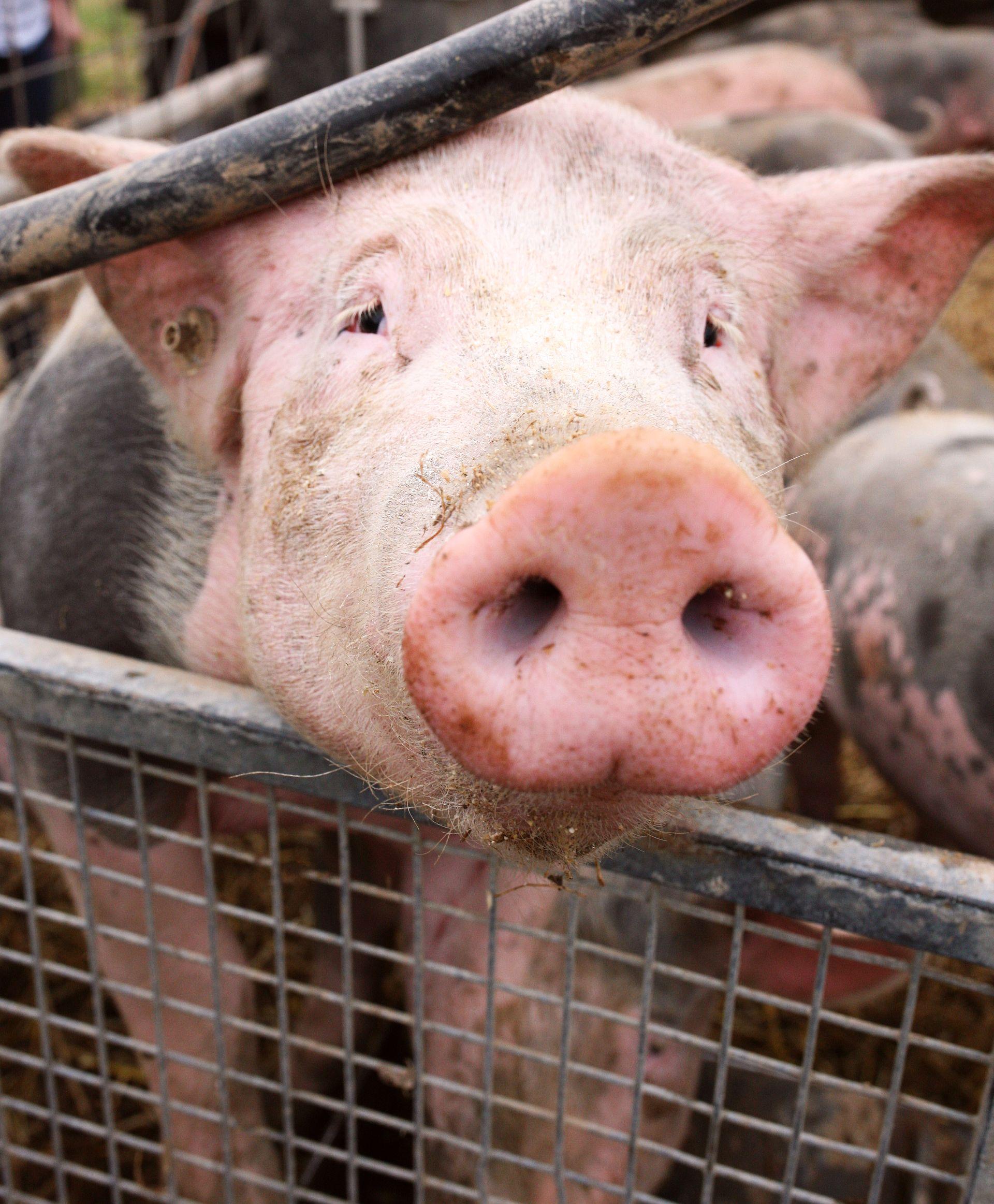 Rheinhessen Schweine